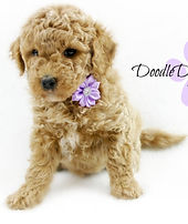 Goldendoodle Puppy Apricot
