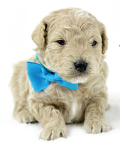 Goldendoodle Puppy Tan