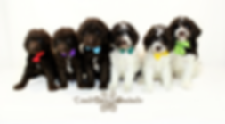 chocolate goldendoodles, chocolate doodle, chocolate parti goldendoodle, chocolate parti