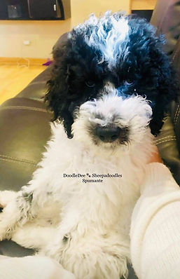 Available Puppies | United States | DoodleDee Goldendoodles