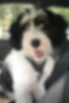Sheepadoodle Puppy Phantom Parti