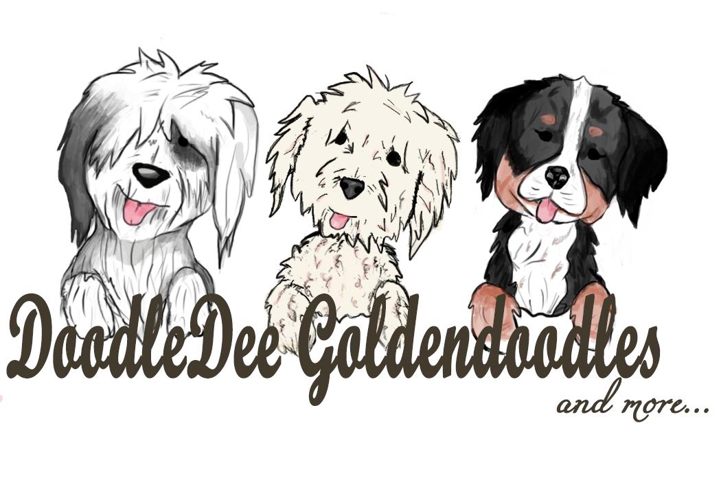 Goldendoodle | Chicago | DoodleDee Goldendoodles