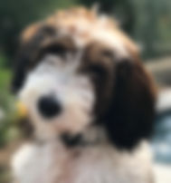 Sheepadoodle Puppy Sable