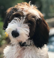 Sheepadoodle Puppy Sable