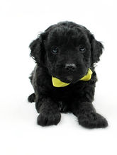 Goldendoodle Puppy Black