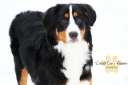 Bernese Mountain Dog Bernedoodle Pup