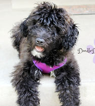 Goldendoodle Puppy Sable