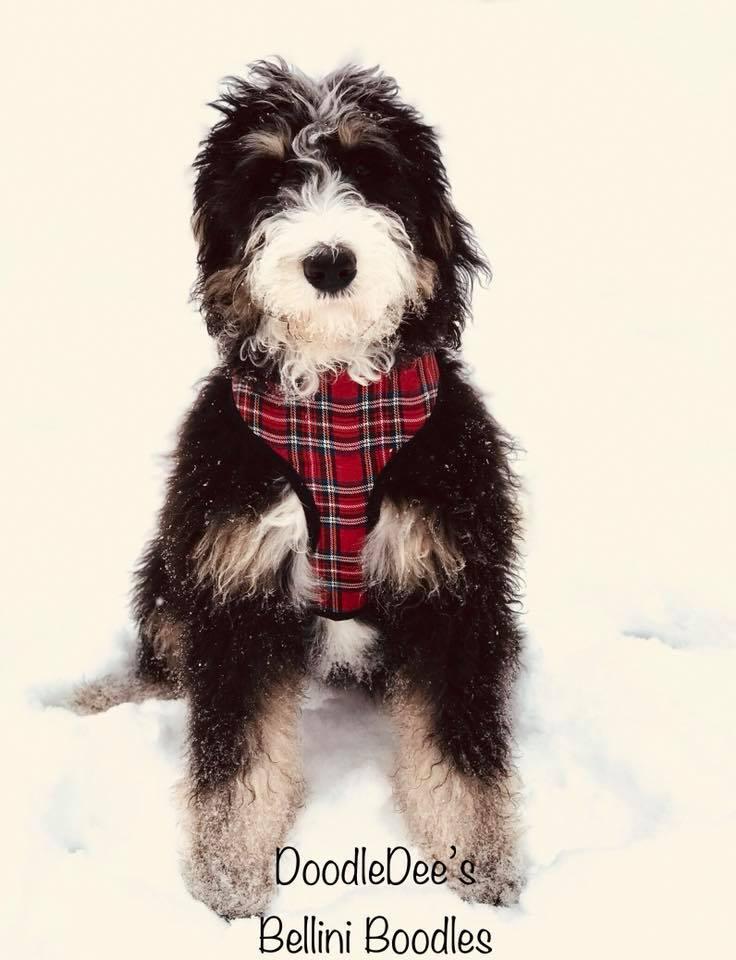 Bernedoodle puppy Phantom