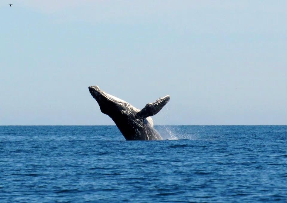 Whale Breeching in Puerto Penasco- photo by Marcia Brockmeyer