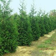 Thuja standishii x plicata 'Green Giant'