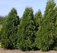 thuja occidentalis_dark green_arborvitae_