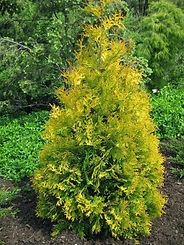thuja occidentalis_yellow ribbon_arborvi