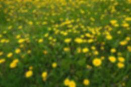 dandelion-field.jpg