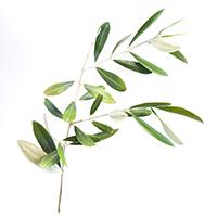 オリーブの葉200.png