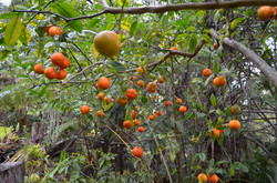Sour oranges (lemons?), Hawaii
