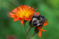 H is for Hawkweed
