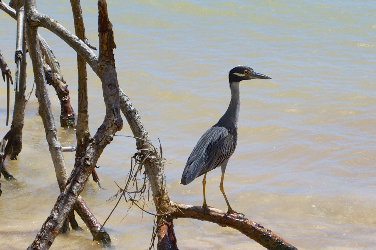 Yellow-crowned night heron, Mangrove