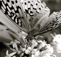 Butterfly, Catskills, NY