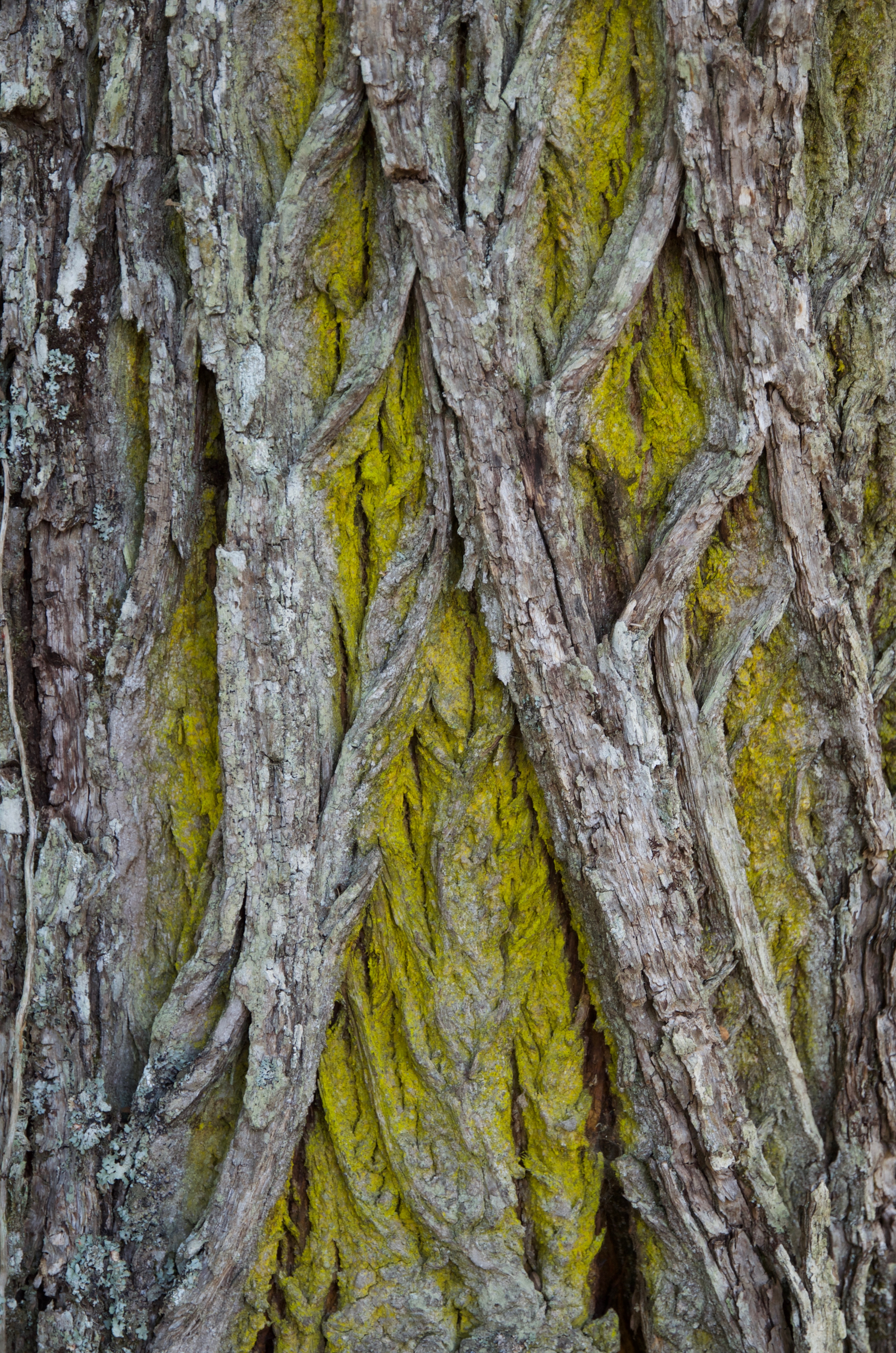 Lichen on chestnut bark, Italy