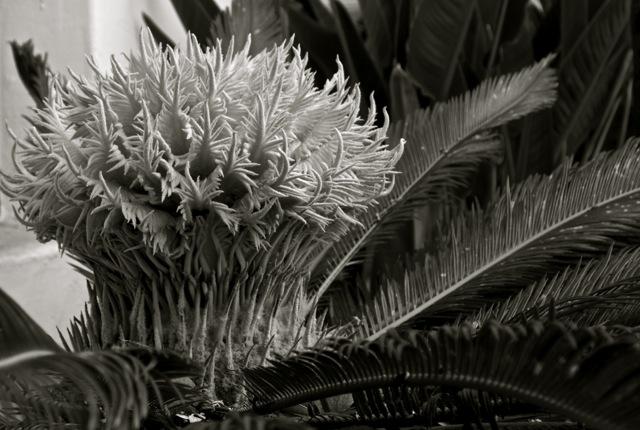 cycas revoluta.jpg