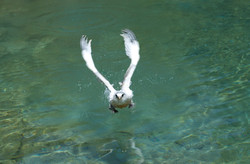 young tropic bird struggles to fly