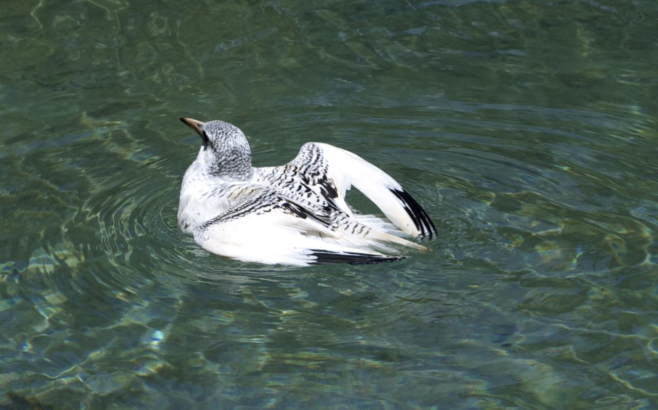 tropic bird, Bermuda