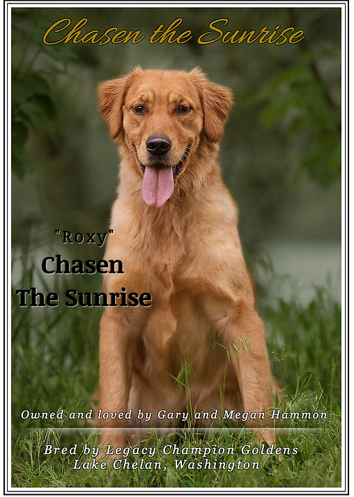 Puppies   Legacy Champion Goldens   United States