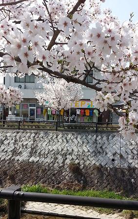 店舗前 桜