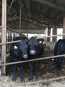 バイオセラピー牛