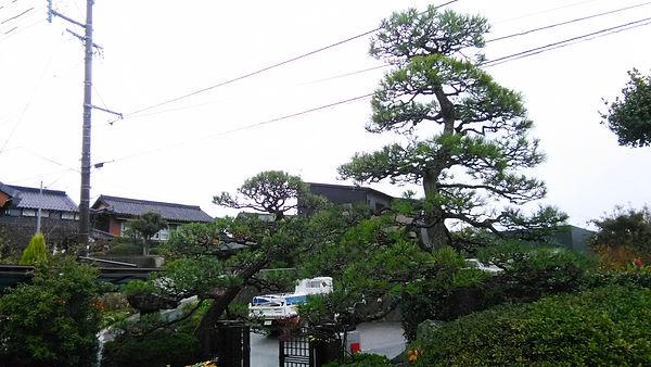 綺麗に剪定された松の木