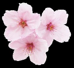 桜8.png