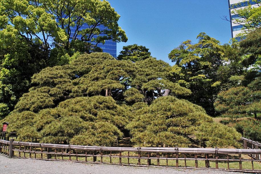 整えられた大木