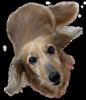 愛犬の美容室トムボーイのデイジー