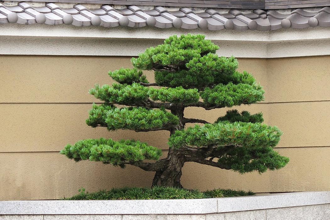 剪定された庭木
