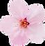 桜7.png