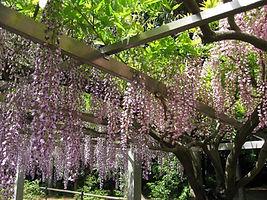 桂人形店 藤の花