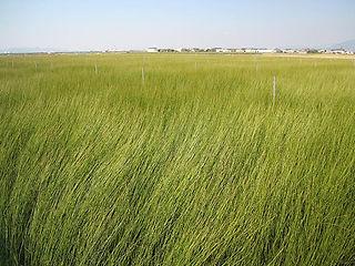 刈取り直前のイ草畑