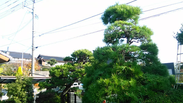 放置された松の木
