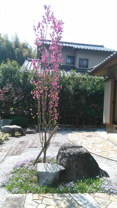 一本の庭木