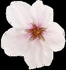 桜6.png