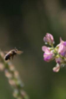 abeille - Photo Armelle