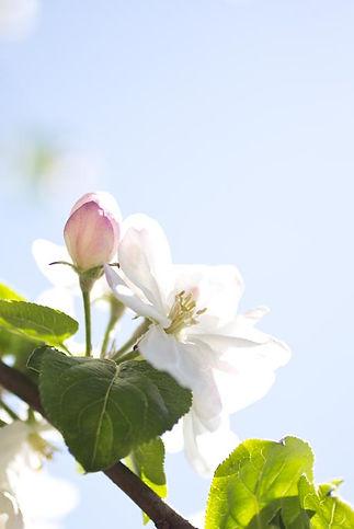 fleurs-de-pommiers_56.jpg