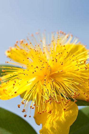 fleur de joie pure