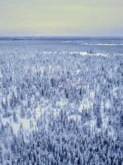 Lapland forest in Finland