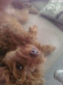 Jax the cutest, shyest petite golden doode