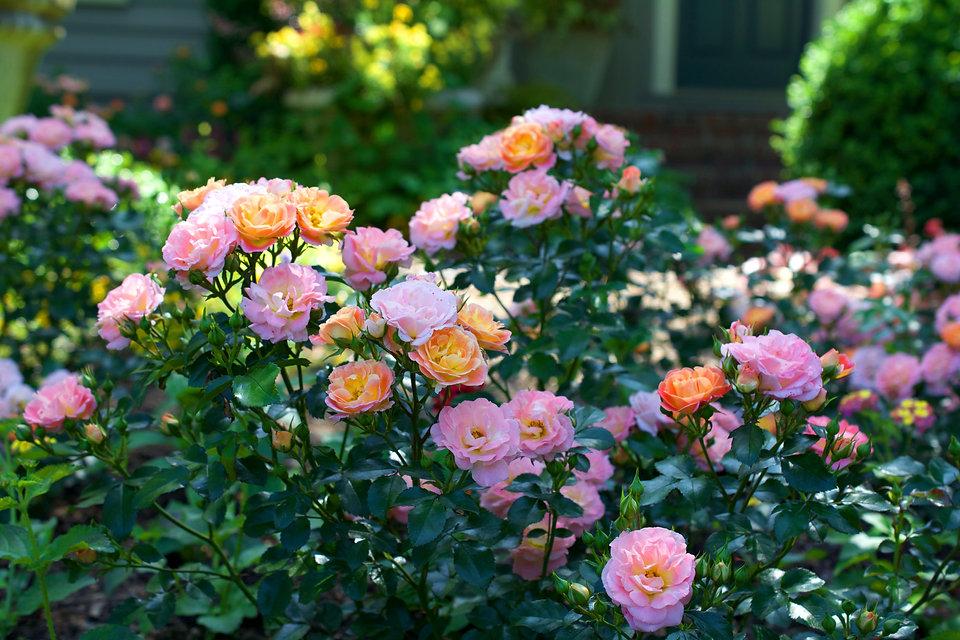 Peach_Drift_Habit_002.Star® Roses and Pl