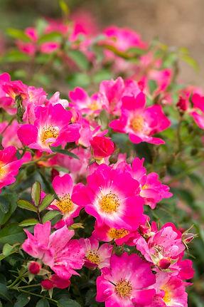 Pink_Drift_Blooms_003.jpg