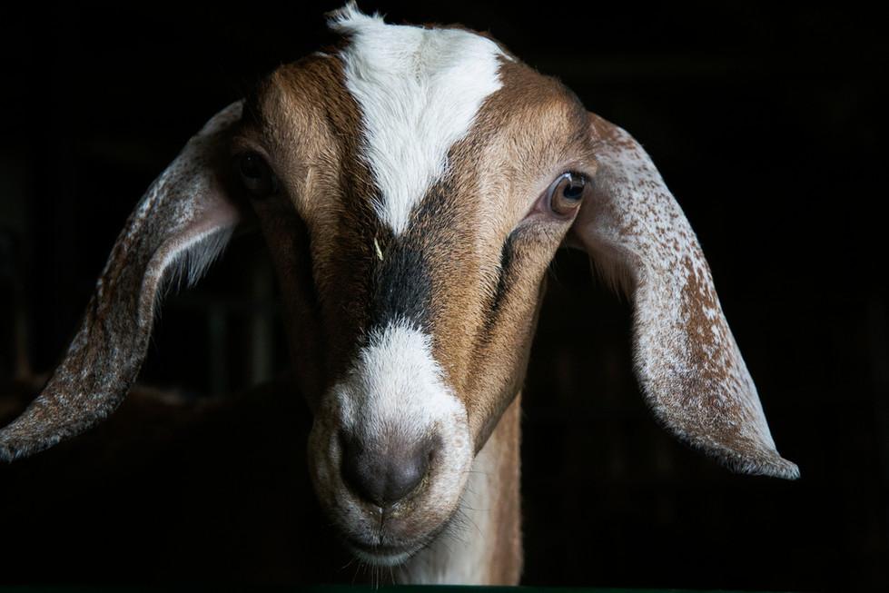 Goat Morning