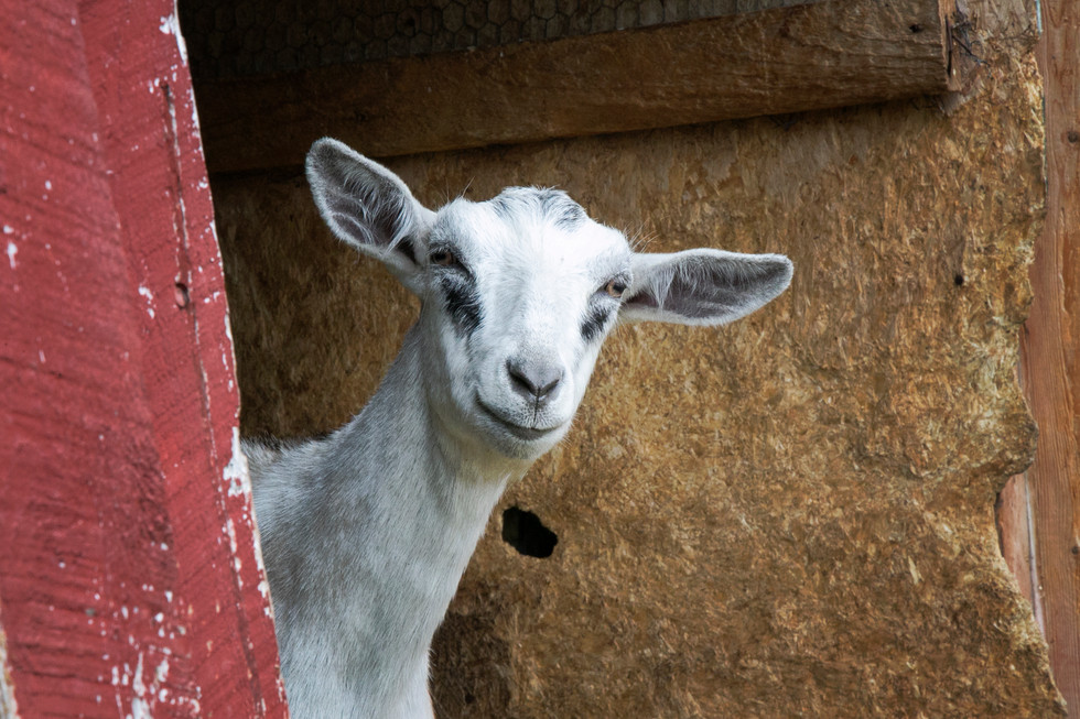 Goat Afternoon