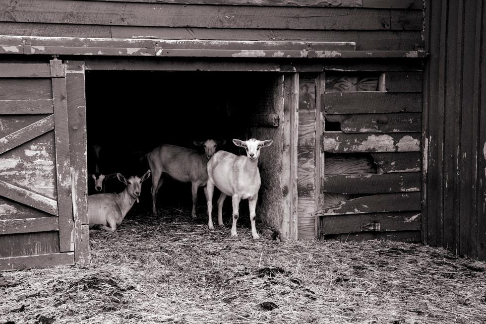 Beekman Goats